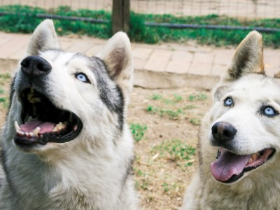 Blue and Huntress Husky Rescue SA