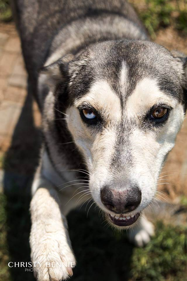Adopt LYRIC Husky Rescue South Africa