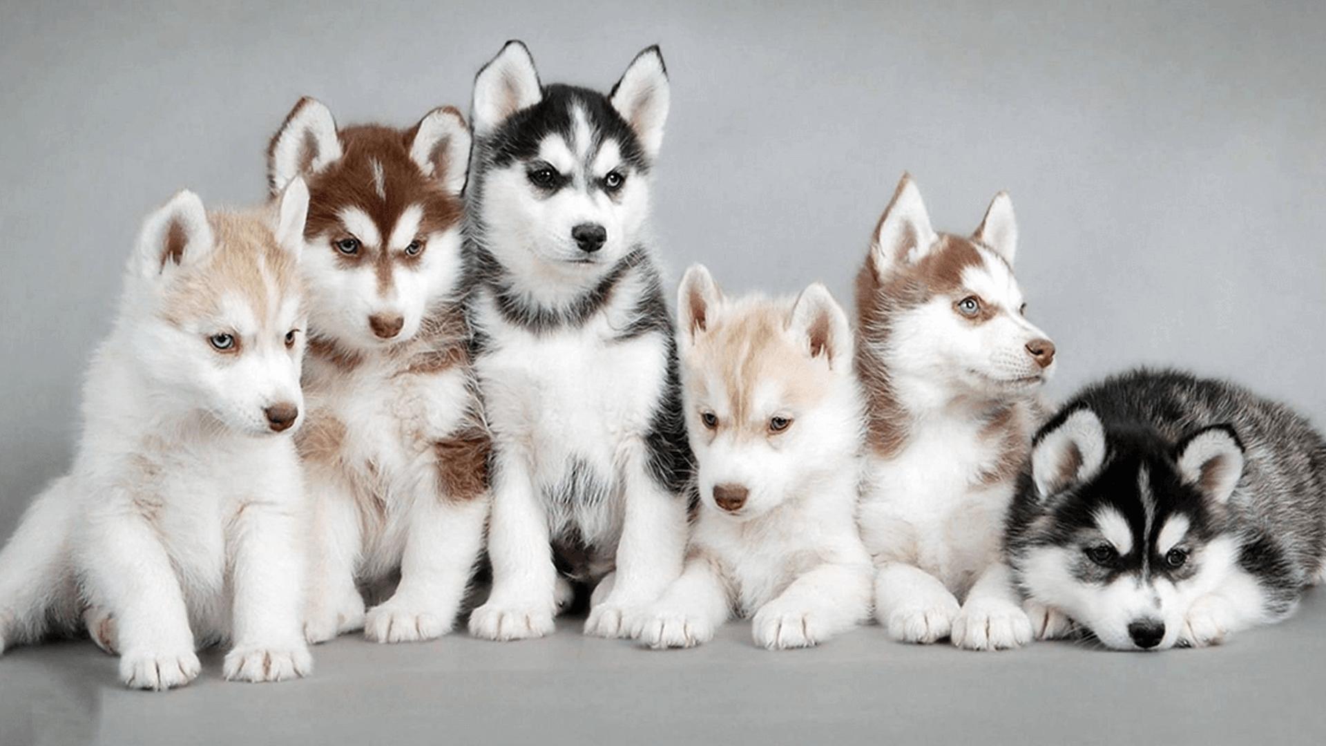 Siberian Husky Colors Husky Rescue South Africa