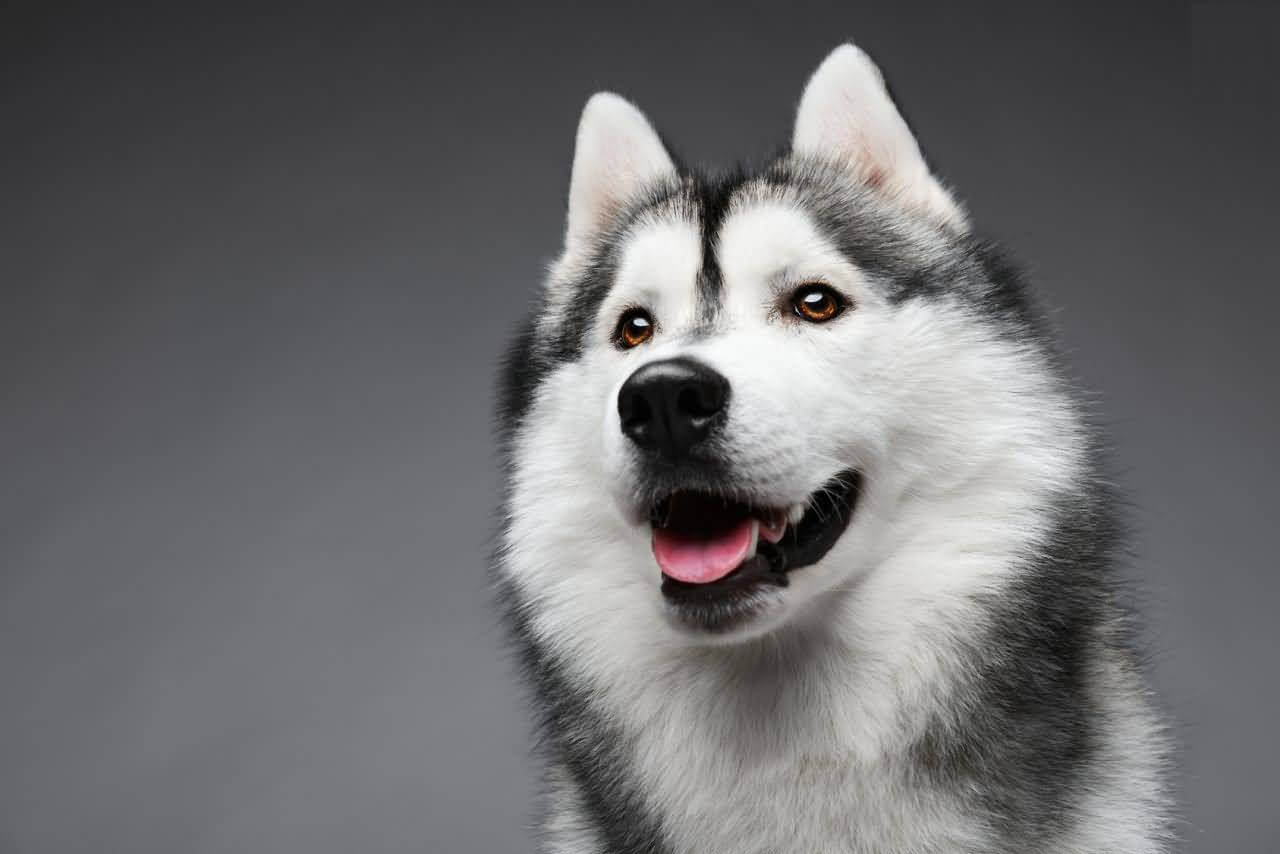 Husky Rescue – SA Eye Color Variations and Common Eye ...
