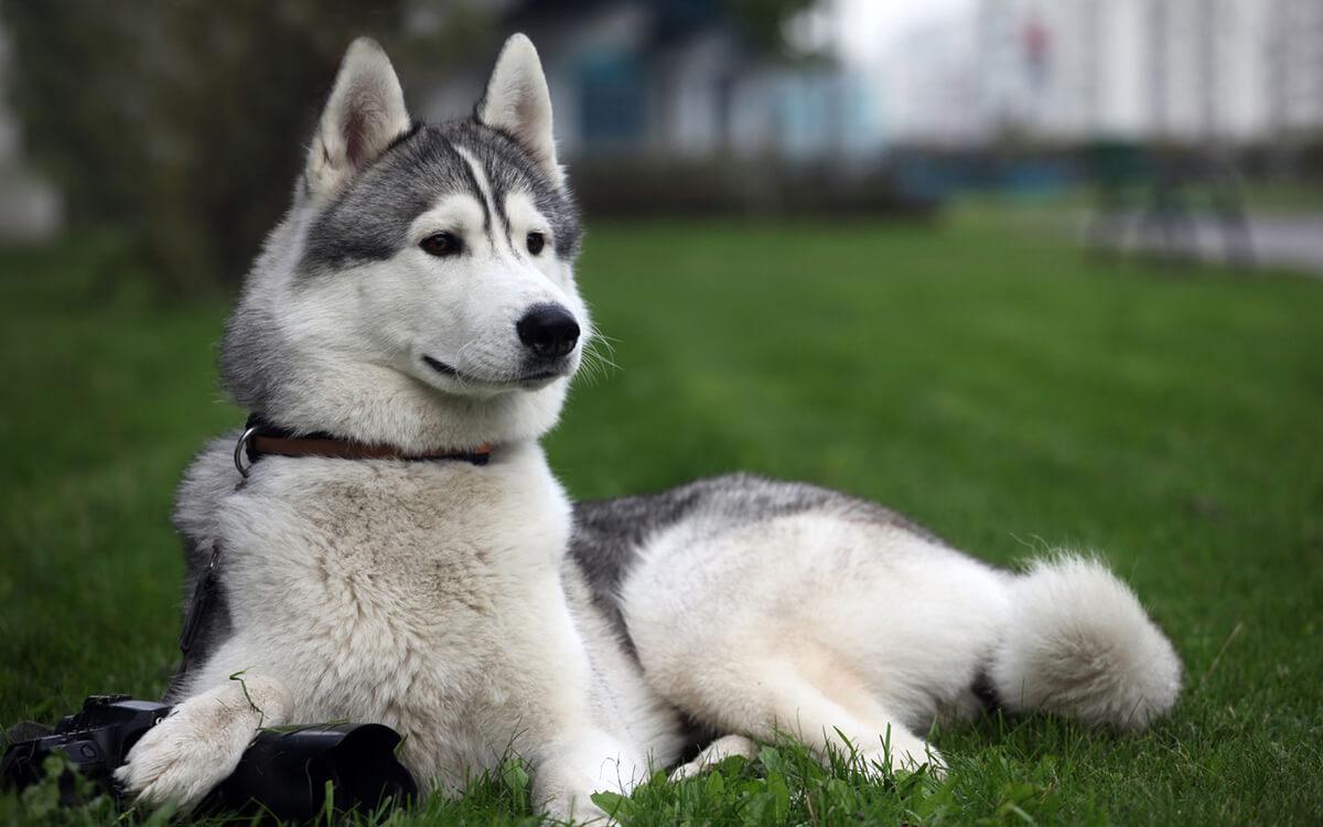 silver-siberian-husky-2