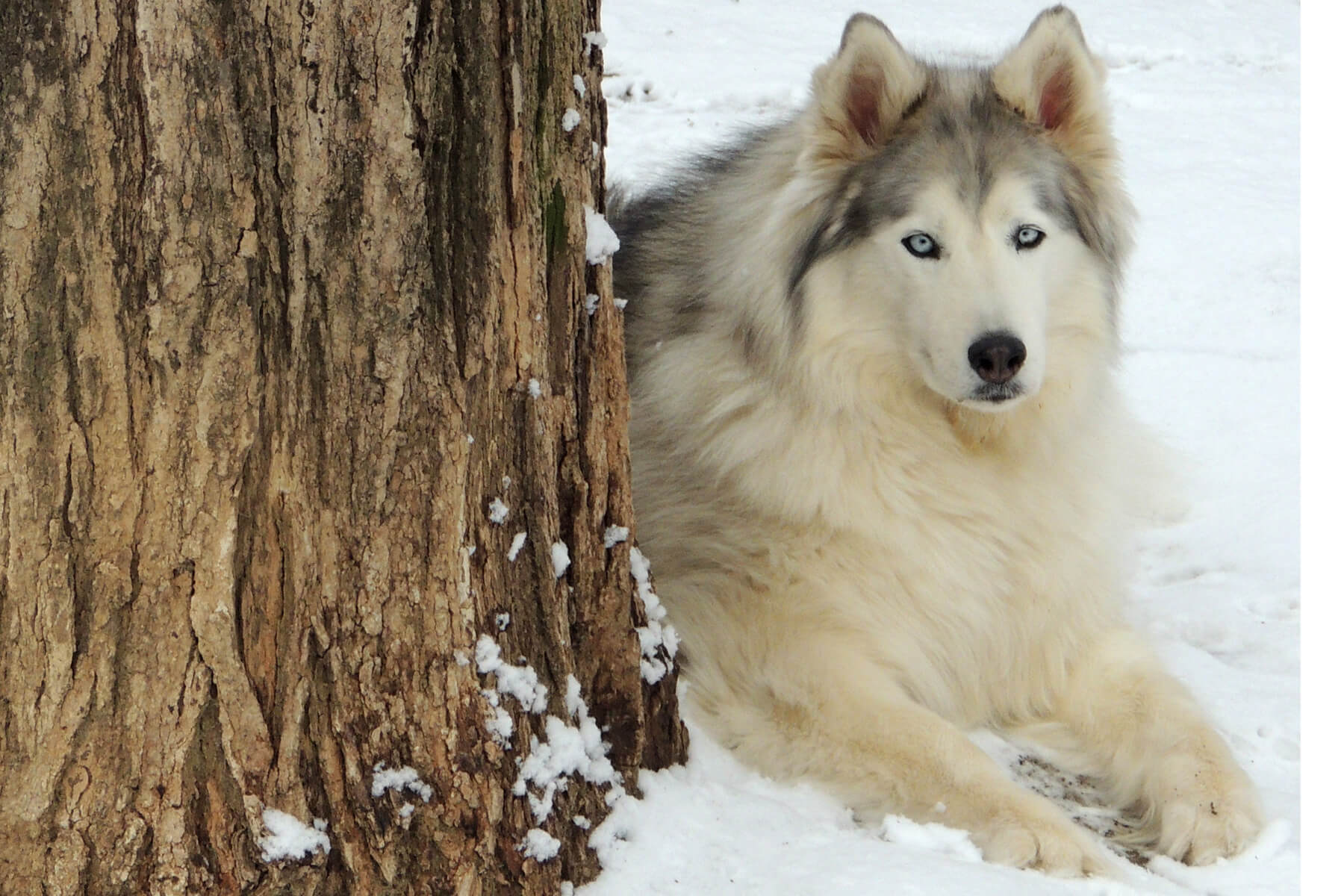 wooly-coat-siberian-husky