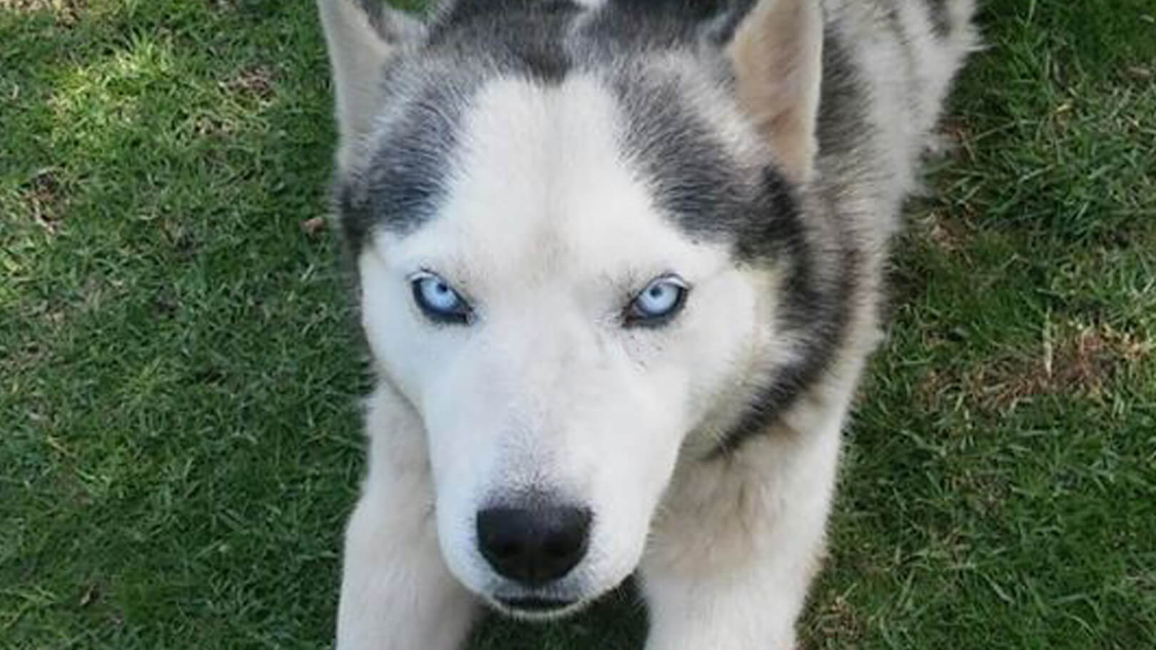 Adopt Husky Rescue South Africa