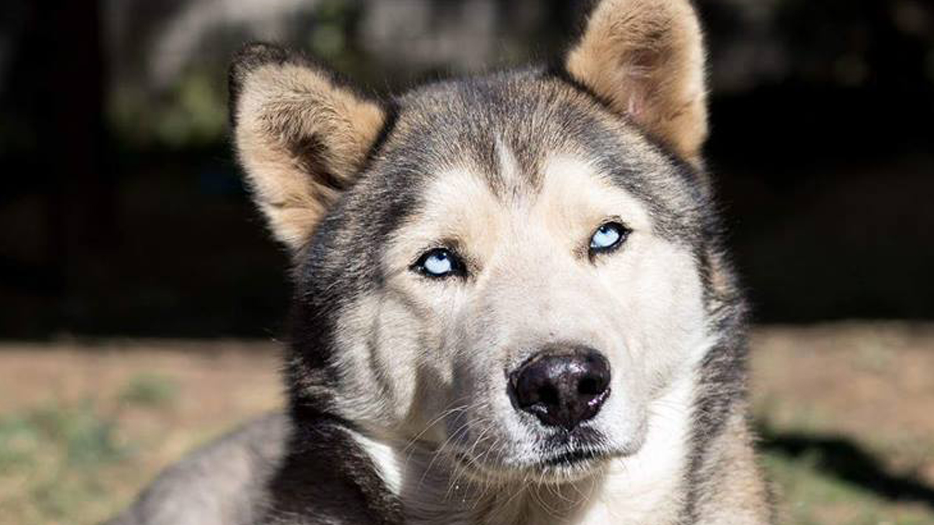 Adopt Charm Husky Rescue South Africa