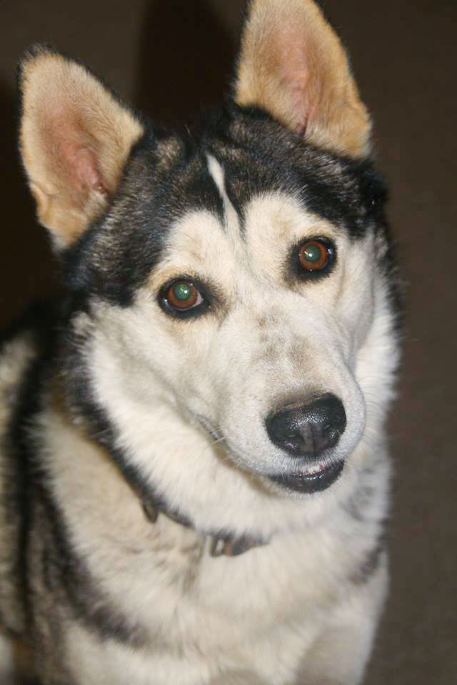 Adopt Charley Husky Rescue South Africa