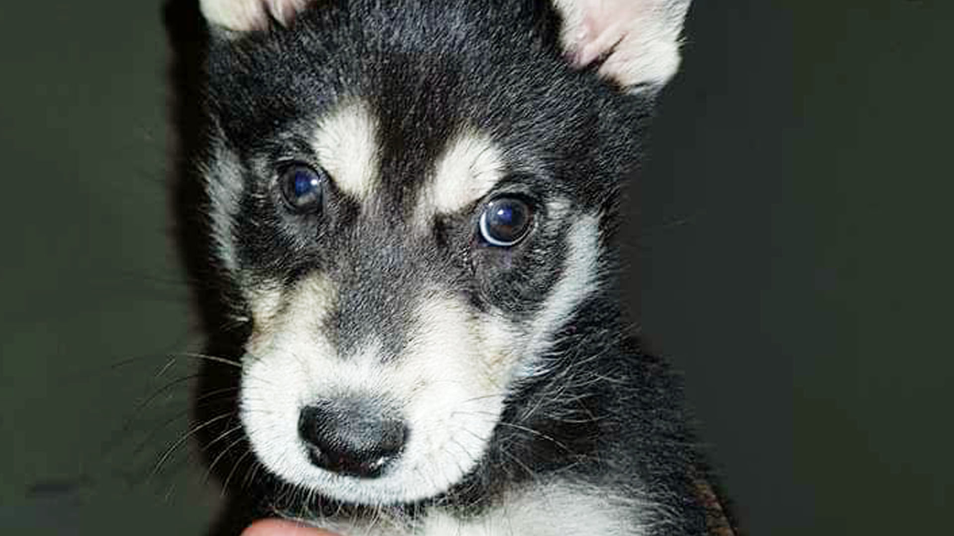 Adopt Timber Husky Rescue South Africa