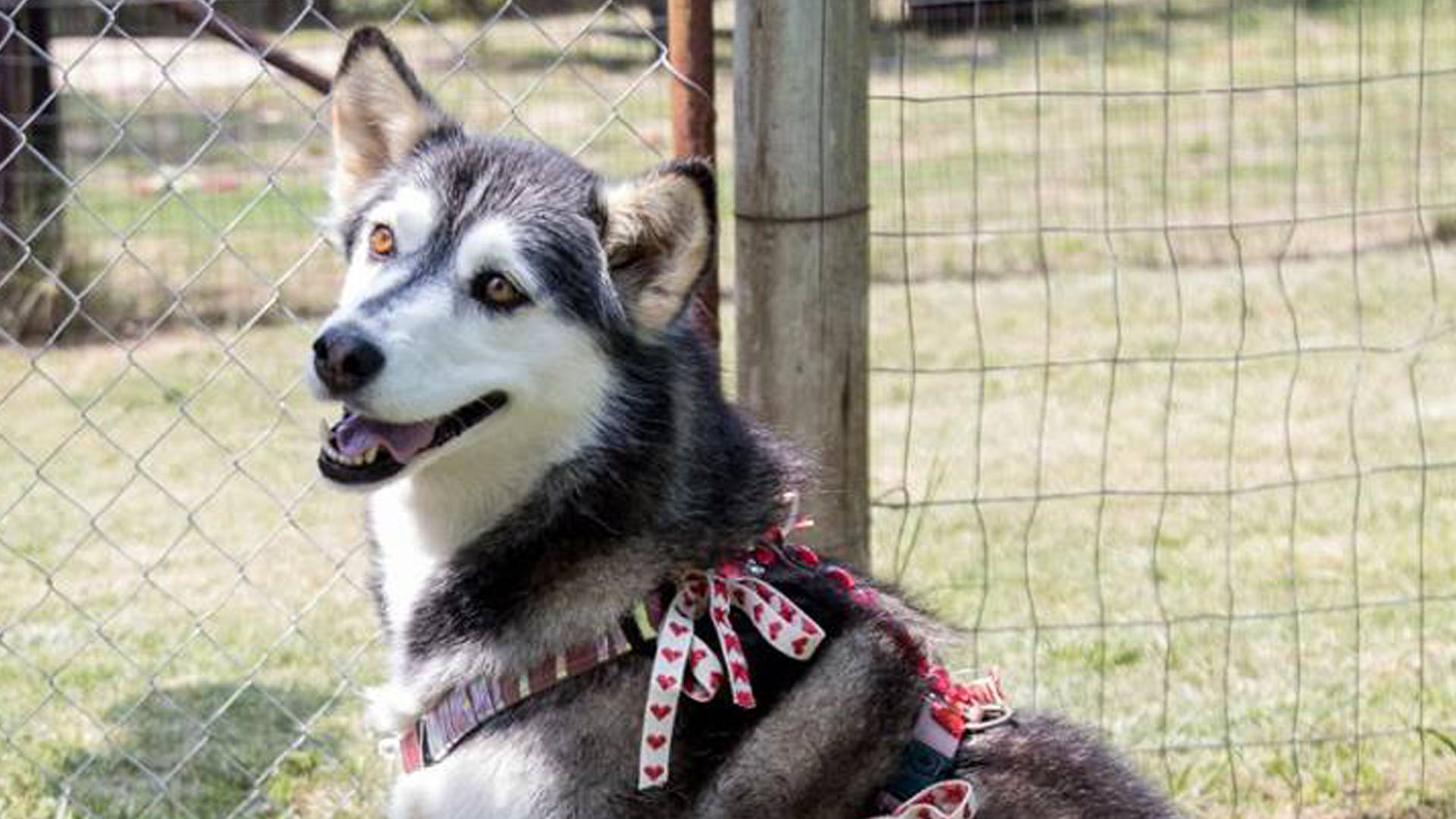 Valentines Virtual Adoptions 2018 Husky Rescue