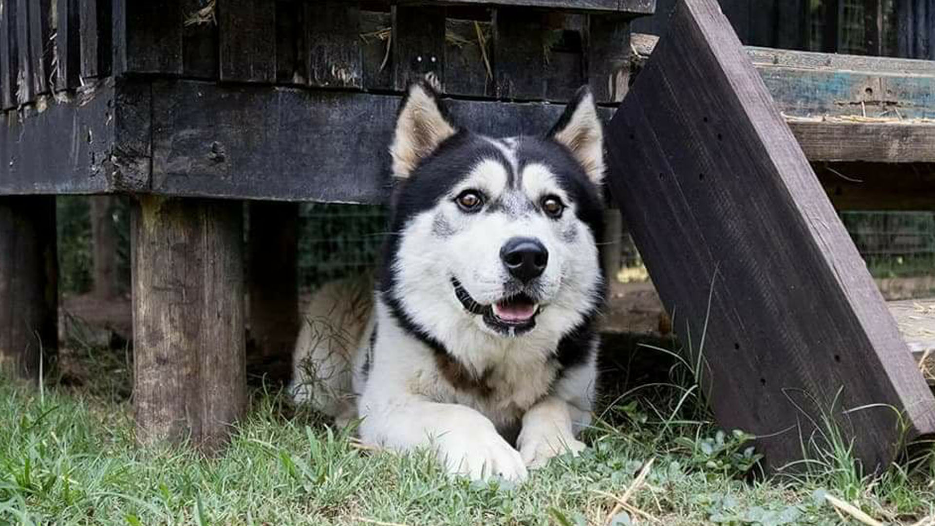 Adopt Troy Husky Rescue South Africa