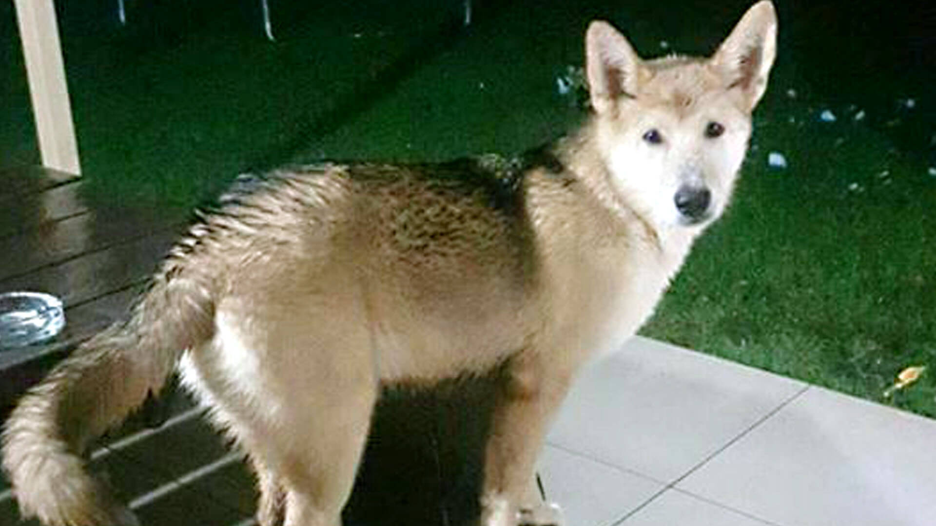 Adopt Baloo - Husky Rescue South Africa