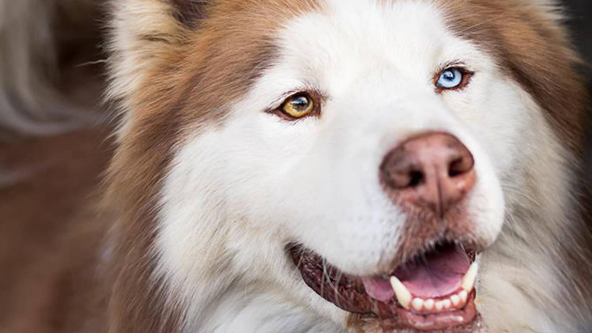 adopt Raiden Husky Rescue South Africa