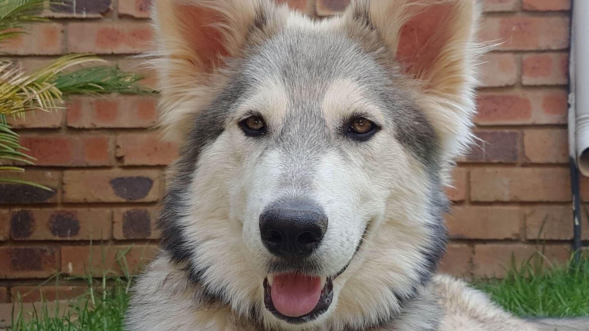 Adopt MISHKA Husky Rescue South Africa