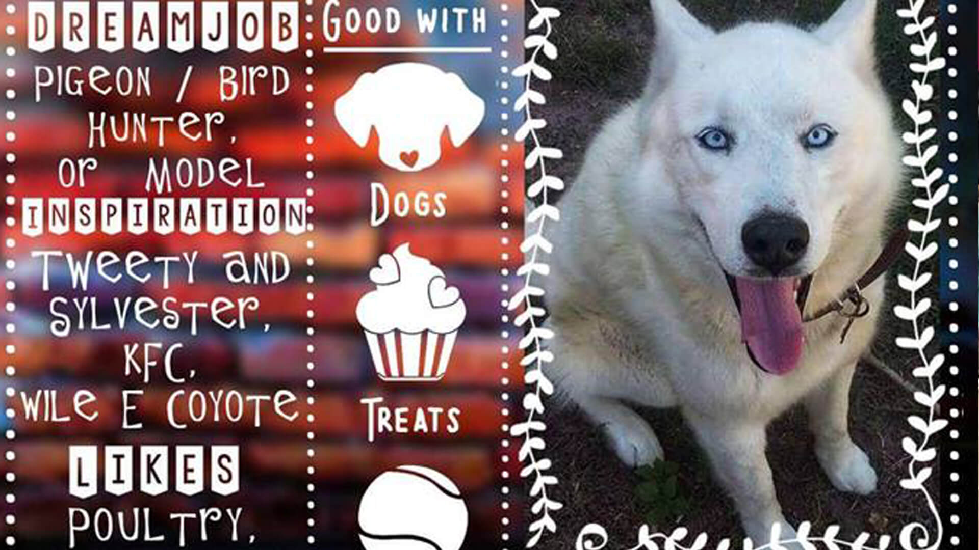 Adopt Tobie Husky Rescue South Africa