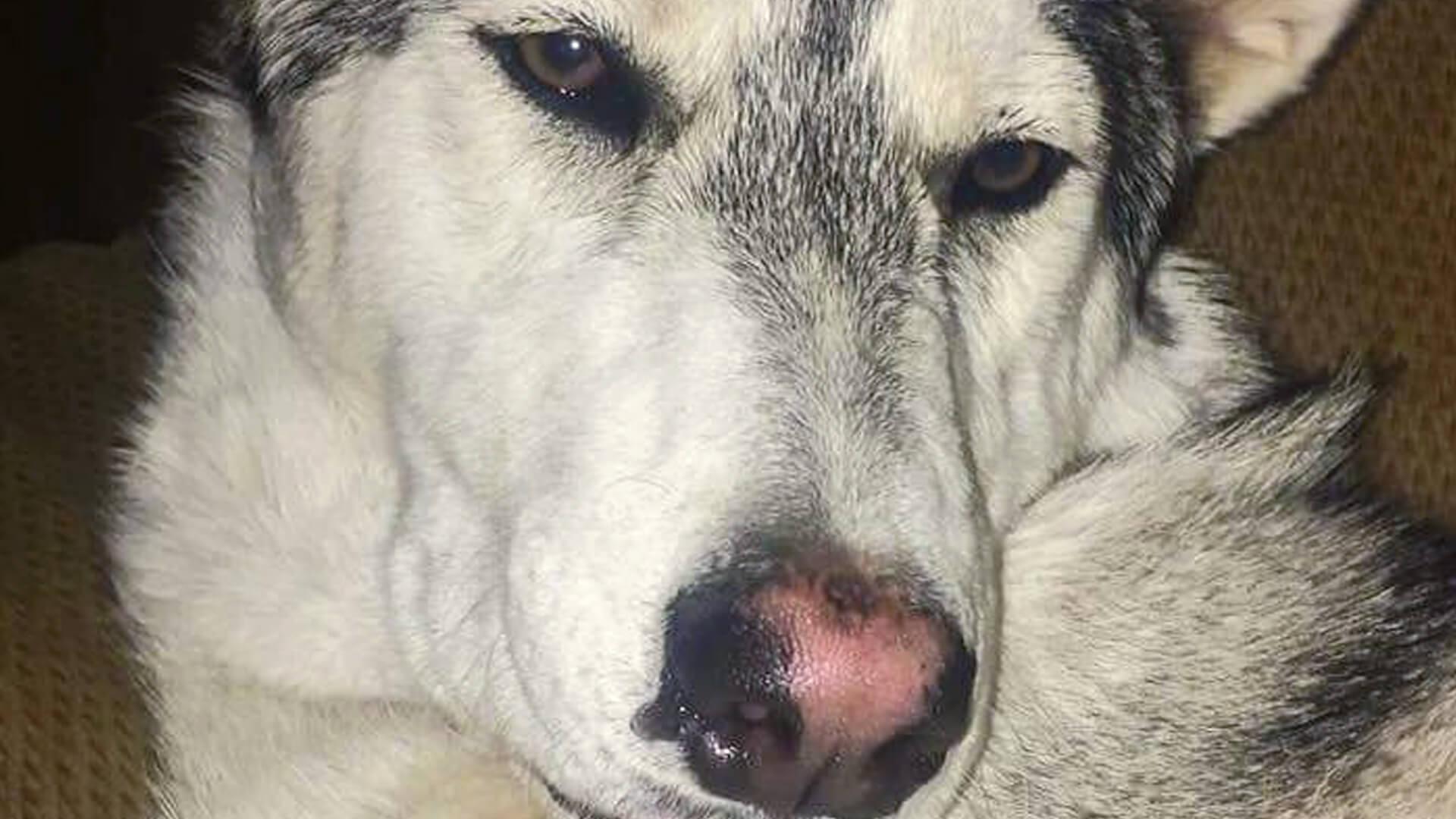 Adopt Luna Husky Rescue South Africa
