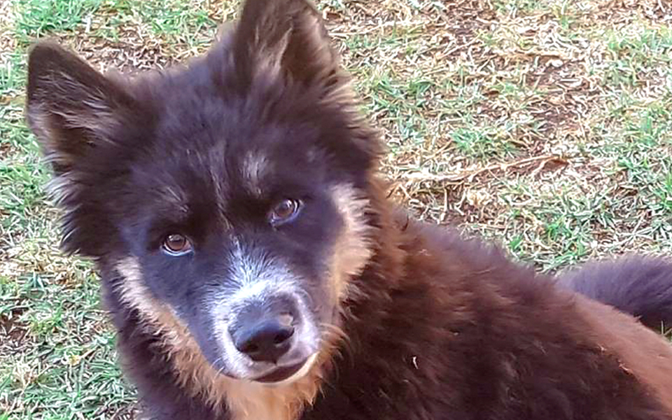 Adopt Dory Husky Rescue South Africa