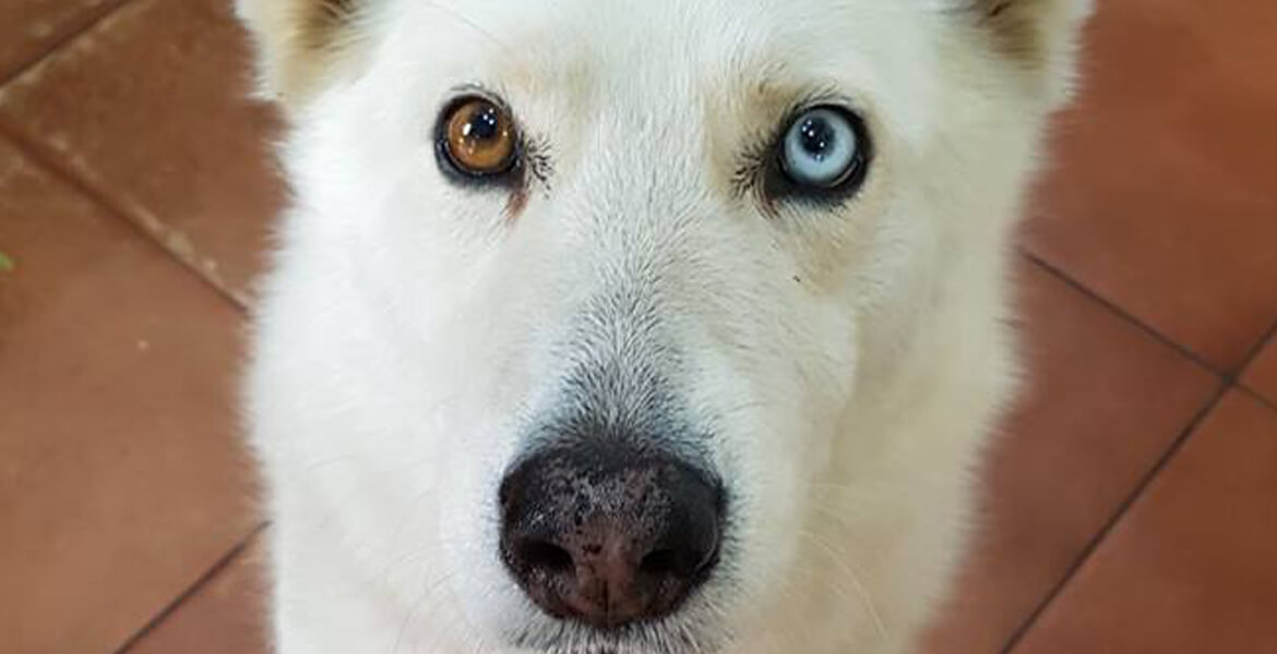 Adopt Silver Husky Rescue South Africa