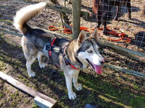 Adopt Arlo Husky Rescue South Africa