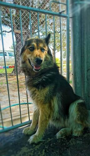 Adopt Azura Husky Rescue South Africa