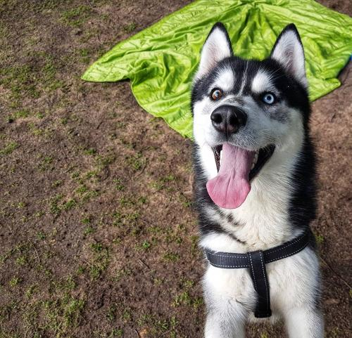 Adopt Indie Husky Rescue South Africa