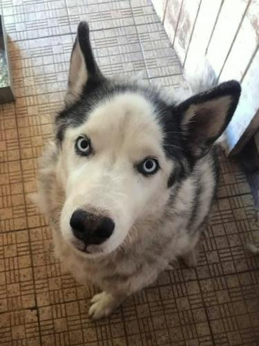Adopt Sky Husky Rescue South Africa