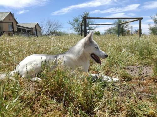 Adopt Storm Husky Rescue South Africa